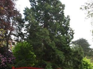Washingtonia or a Wellingtonia