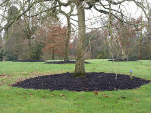 A well-cared for tree at Savill Gardens with plenty of fresh mulch around its base.